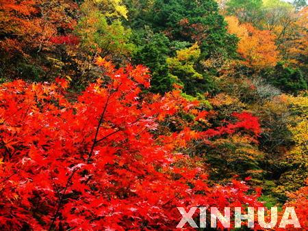 一年四季红叶树图片