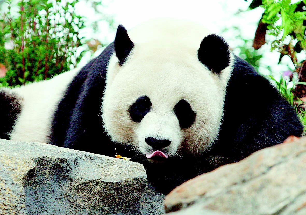 大熊猫卡通图片