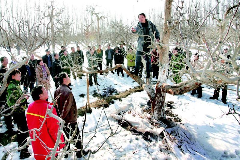 二师29团冬季修剪服务队正忙着为当地果农修剪香梨树