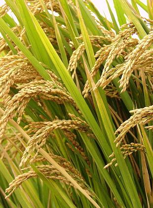 粳稻期货合约在郑商所挂牌交易