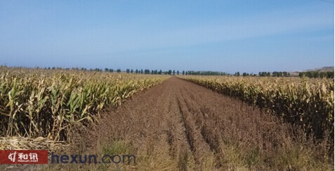 图2、富锦向阳川镇小后村玉米大豆间种图