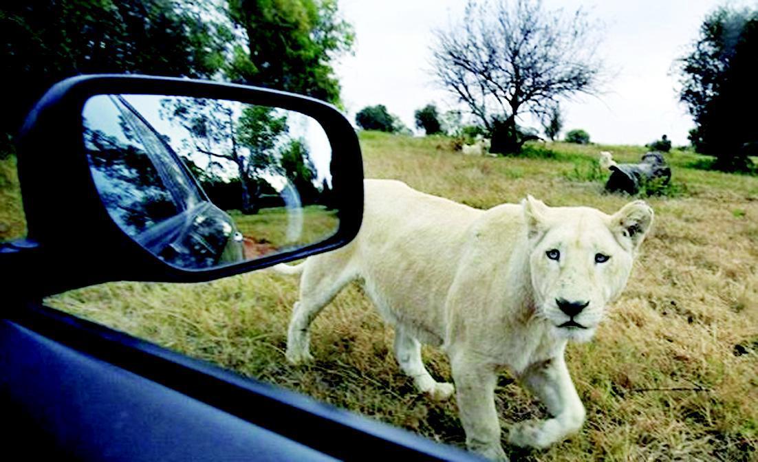 一位22岁的美国女游客1日下午在南非约翰内斯堡附近的狮子公园内遭到狮子攻击丧生,另有一人被狮子从车窗拖出严重受伤。6月1日下午,一名美国女性游客和一位疑似当地导游的男同伴开车经过约翰内斯堡附近的狮子区,女游客开着车窗给狮子拍照时,遭到一头母狮的攻击。工作人员见状赶走狮子,并找来医生当场为这位女游客进行急救,但最终还是抢救无效身亡,而她的同伴在试图帮她拉开狮子时也受了重伤。   南非豪登省狮子公园的员工理斯科特辛普森说,公园手册和告示都标明了游客行驶经过狮子区时禁止开窗。可受害者显然并没有听取,如果这两