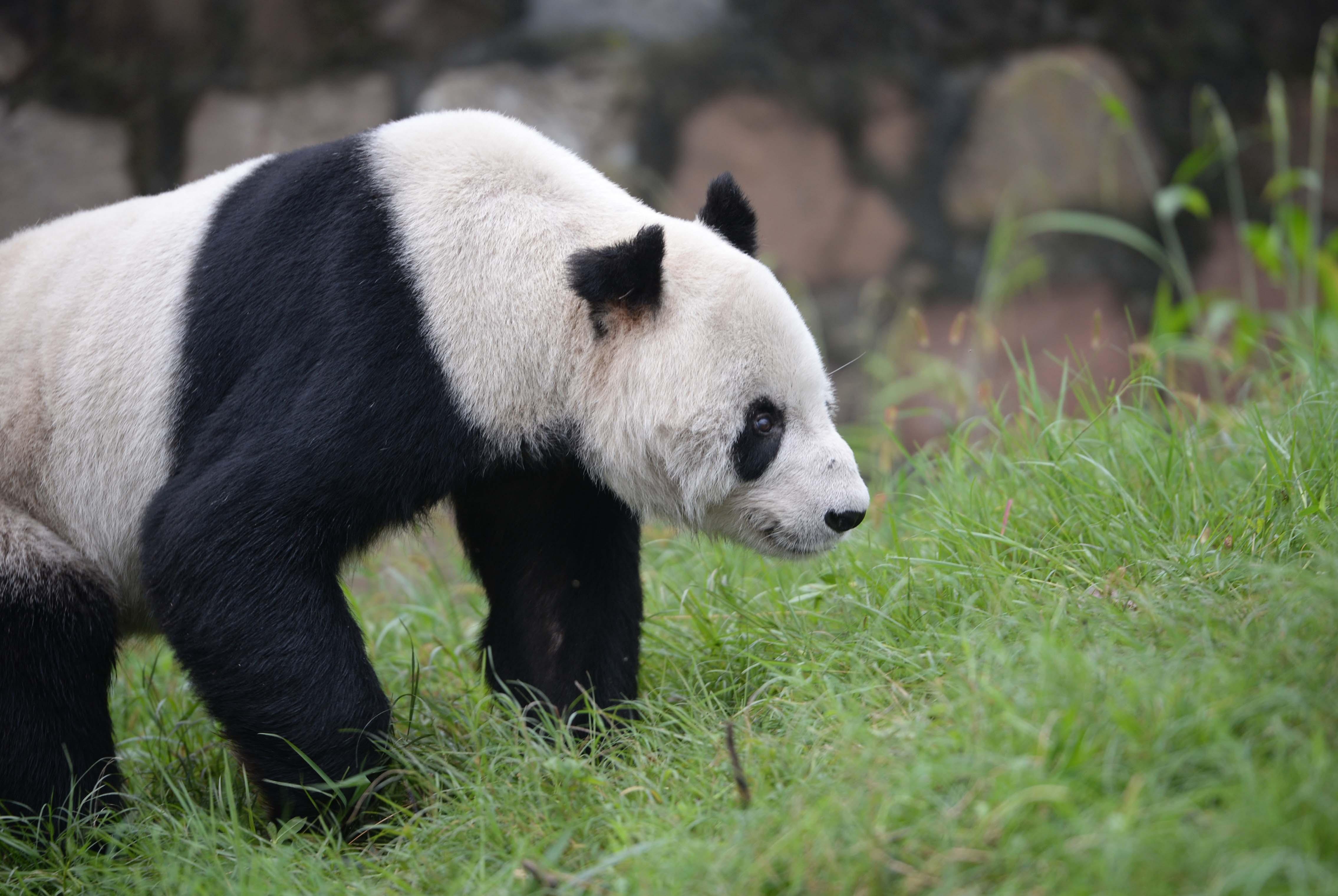 世界上最可爱的熊猫