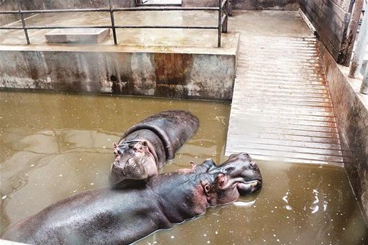 楚天都市报讯   楚天都市报讯 (记者吕锐 通讯员付汉明)昨日江城气温骤降,一夜入冬。为了保证园区里诸多热带动物安全越冬,武汉动物园想出了一系列的尖板眼。   看,河马还在泡温泉呢。昨日上午10时,在武汉动物园河马区,游客发现河马游泳的水池热气腾腾。工作人员称,河马非常怕冷,河马馆分为内外两室,现在河马活动区域限定在内室,内室里装有暖气,一台锅炉日夜不停地工作,以保证游泳池内水温不低于18,室内气温不低于25,现在河马每天都泡桑拿(如图),舒服着呢。   来自非洲的非洲象、长颈鹿、山魈、白
